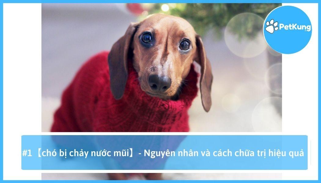 Chó bị chảy nước mũi - nguyên nhân và cách chữa trị hiệu quả