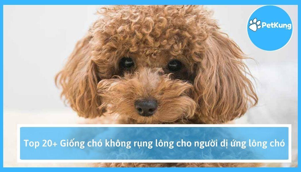 Top 20+ giống chó không rụng lông cho người dị ứng lông chó