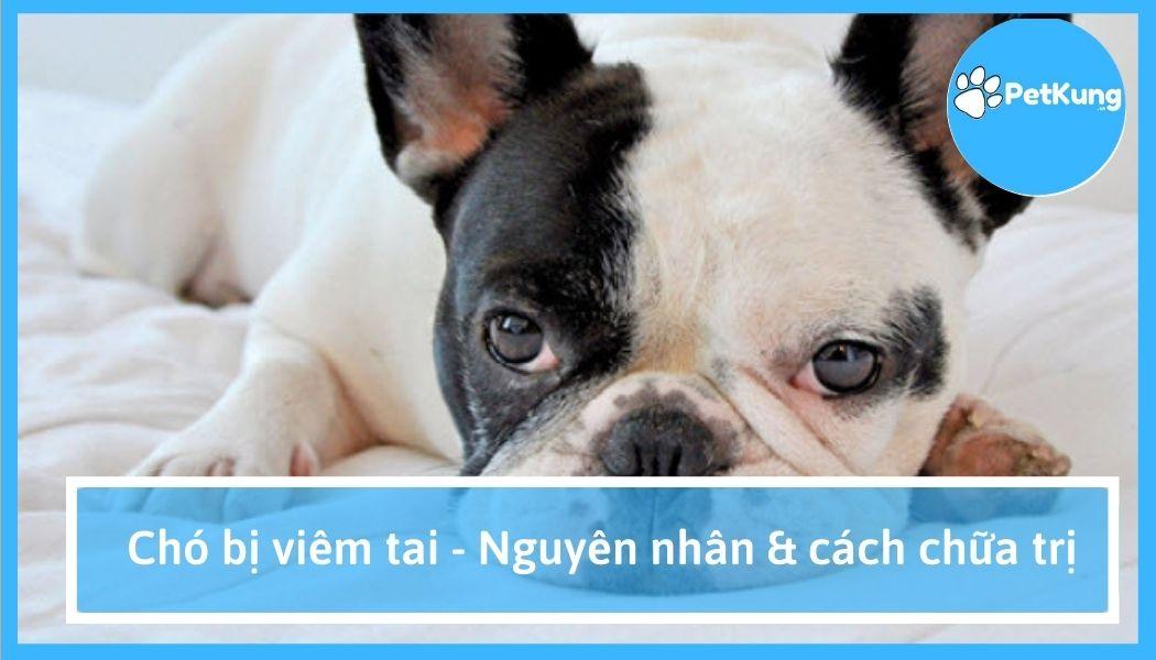 Chó bị viêm tai - nguyên nhân & cách chữa trị