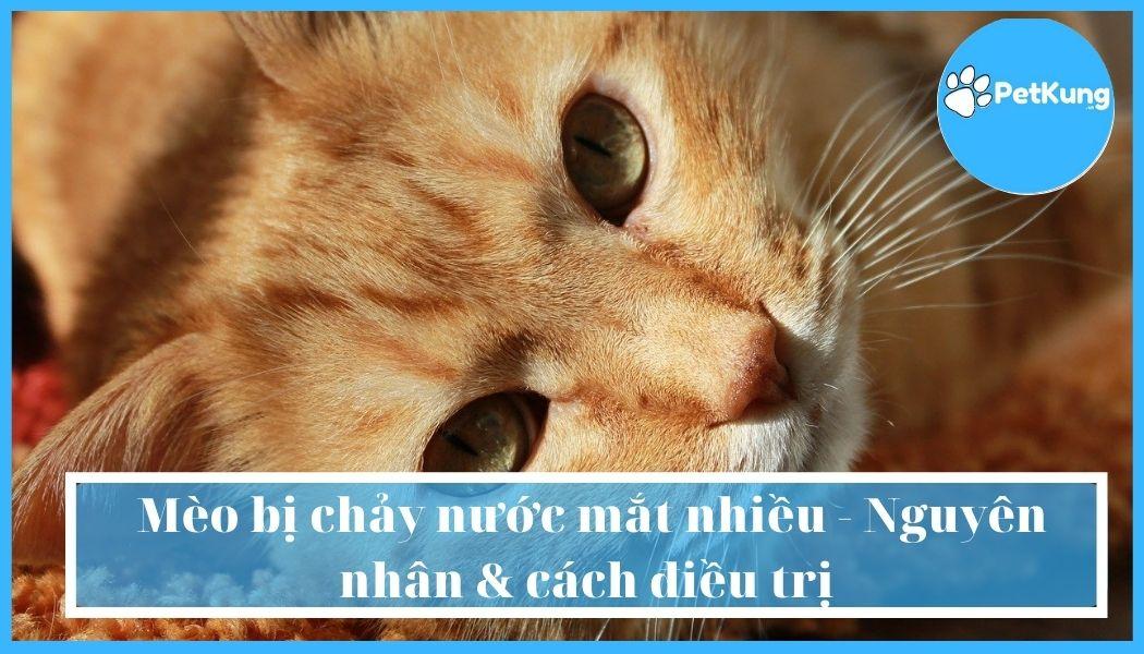 Mèo bị chảy nước mắt nhiều - Nguyên nhân & cách điều trị